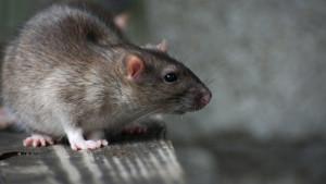 Sa Merdona in sardo. Il ratto, in italiano.