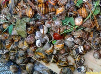 Record nella raccolta di lumache nel weekend di pioggia