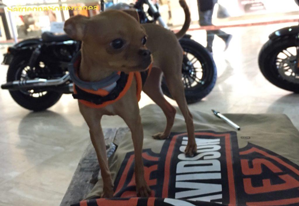 La piccola Olivia, mascotte dell'Harley