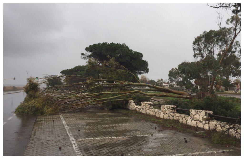 L'albero caduto sui parcheggi del Poetto.